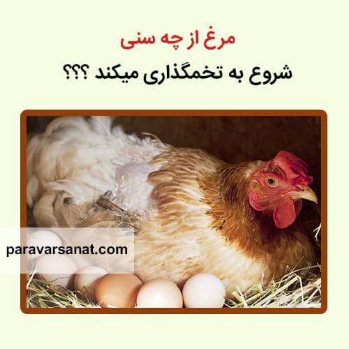 سن تخمگذاری مرغ
