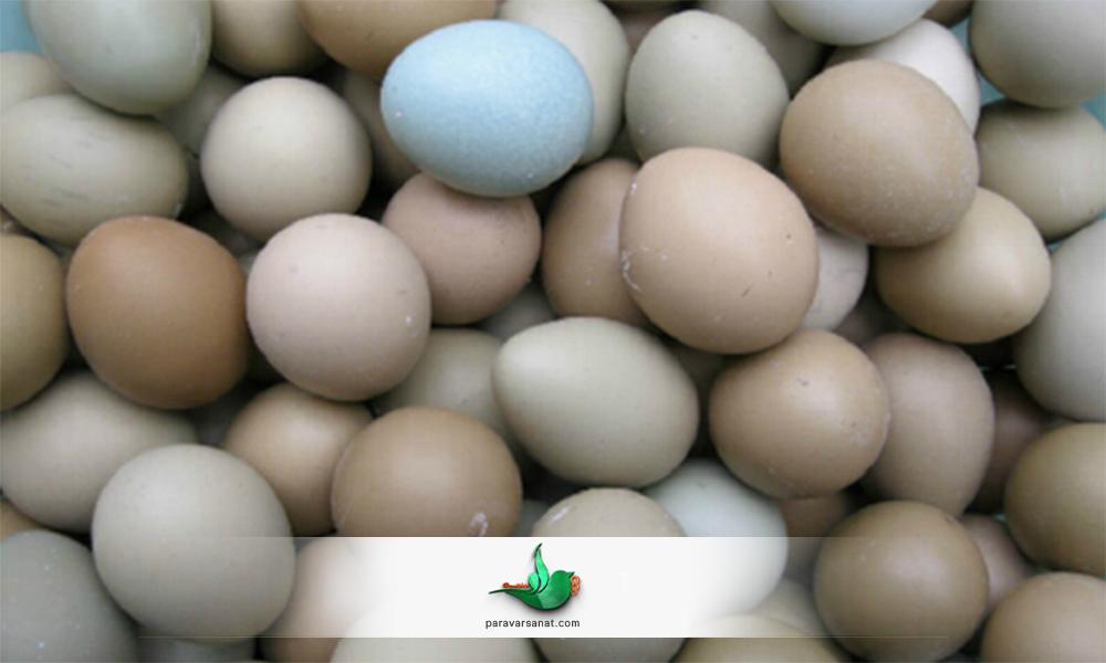 پیشنهاداتی جهت افزایش تخمگذاری قرقاول