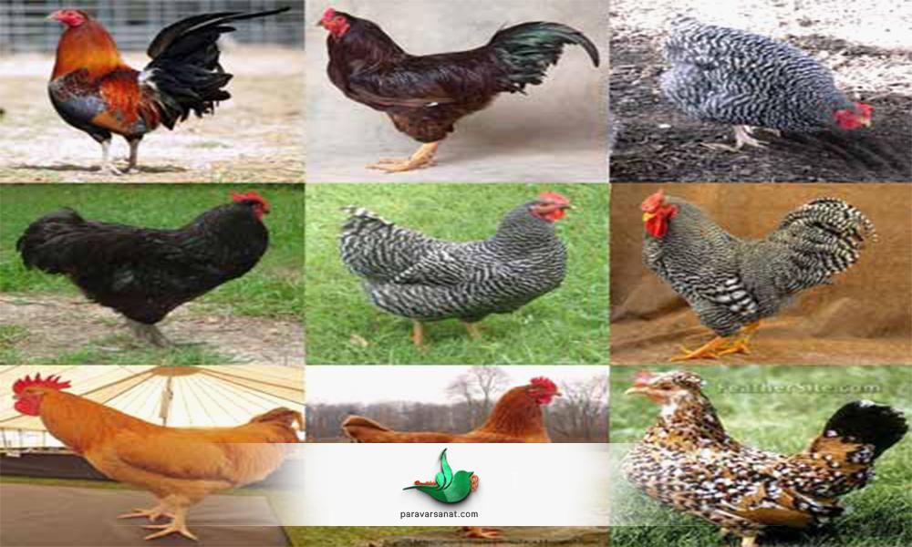 انواع مرغ های بومی