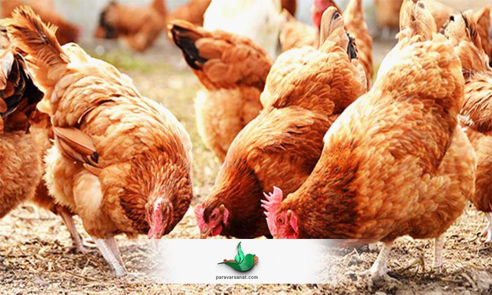 نکات مهم در پرورش مرغ محلی