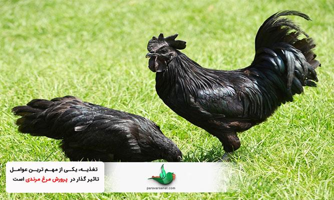 پرورش مرغ مرندی