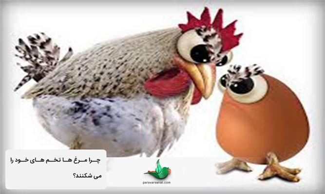 چرا مرغ تخم خود را می شکند؟