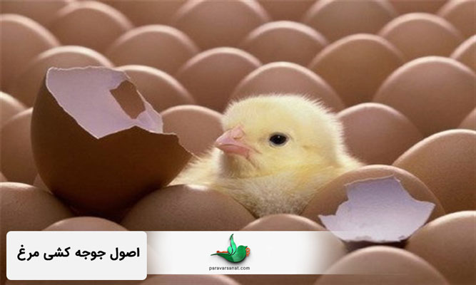 اصول جوجه کشی مرغ