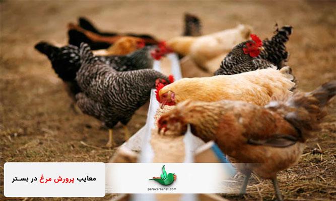 معایب پرورش مرغ در بستر
