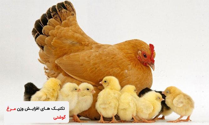 تکنیک های افزایش وزن مرغ گوشتی