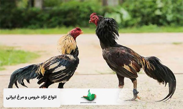 انواع نژاد خروس و مرغ ایرانی