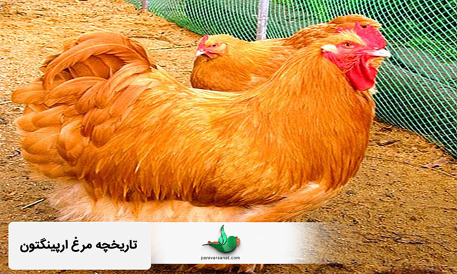 تاریخچه مرغ ارپینگتون