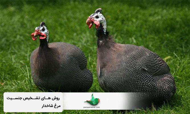 تعیین جنسیت مرغ شاخدار