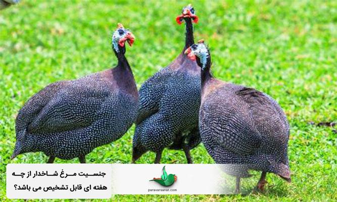 جنسیت مرغ شاخدار