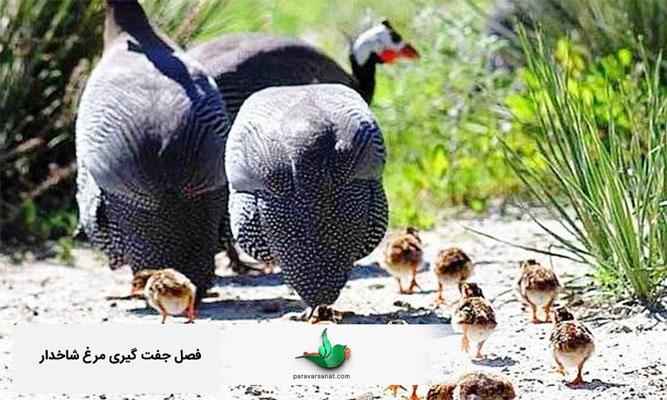 فصل جفت گیری مرغ شاخدار
