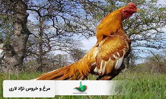 مرغ و خروس نژاد لاری