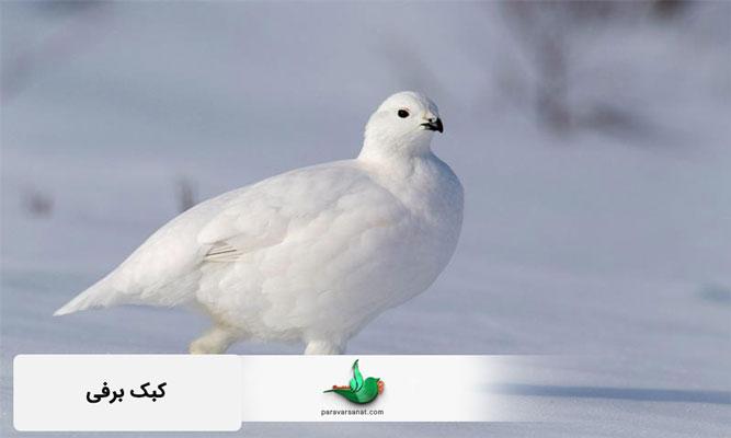کبک برفی