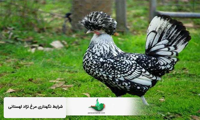 شرایط نگهداری مرغ نژاد لهستانی