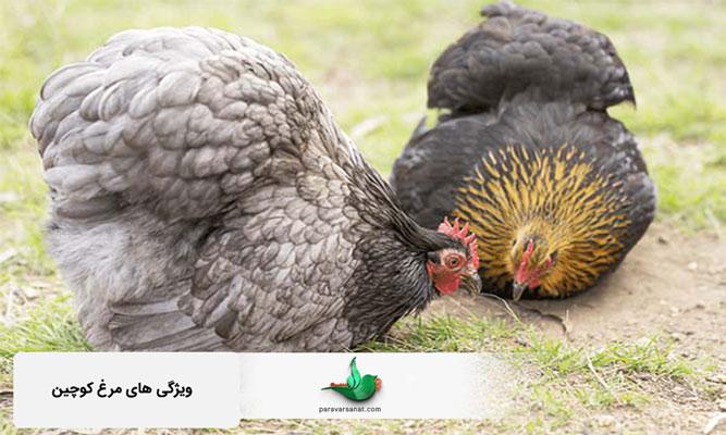 مرغ کوچین