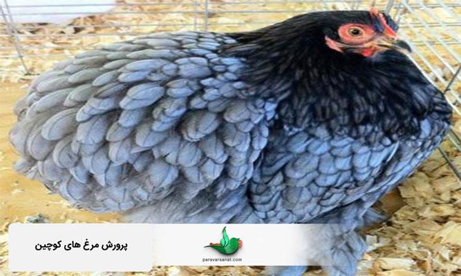 پرورش مرغ های کوچین