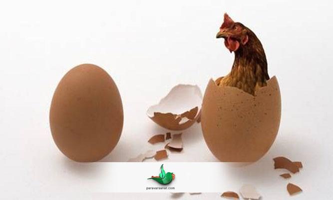 تحریک مرغ برای تخم گذاری