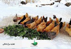 تغذیه-مرغ-خانگی