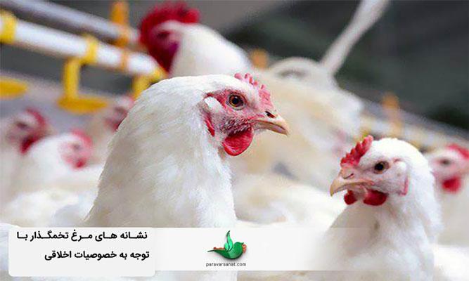 نشانه های مرغ تخمگذار با توجه به خصوصیات اخلاقی