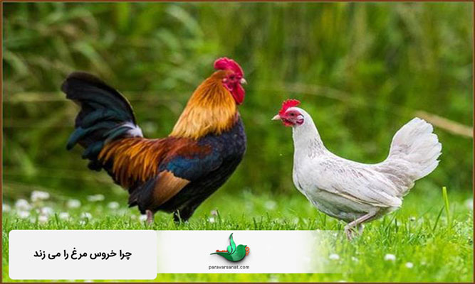 چرا خروس مرغ را می زند ؟